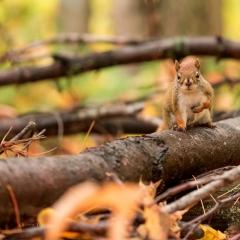 Petit suisse (écureuil), CA